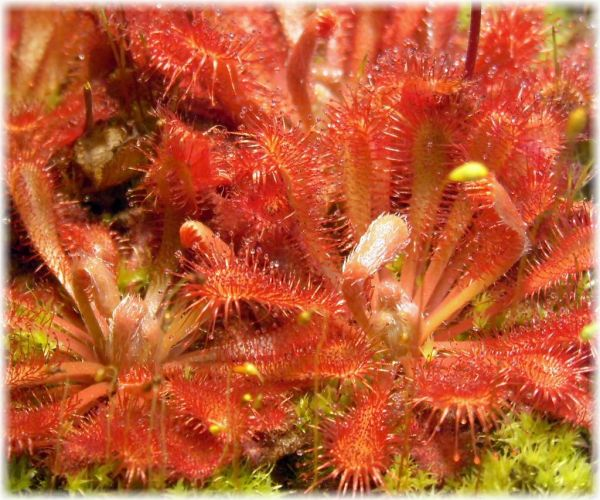 Drosera spatulata, rote Form aus Neuseeland