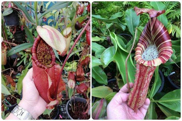 Nepenthes .(Viking x northiana) x [(eymae x maxima) x platychila] 25 Samen, 01/2019