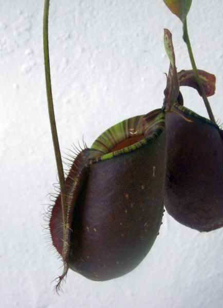 Nepenthes rafflesiana x ampullaria Black Miracle 12-20cm dunkle Kannen