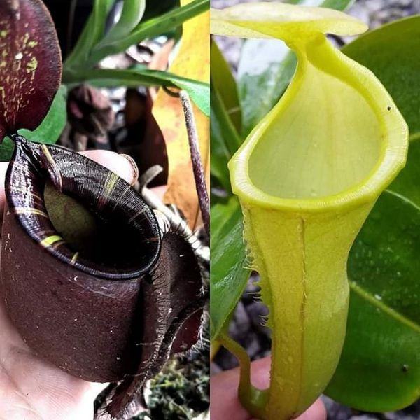 Nepenthes (viking x ampullaria black miracle) x (chaniana x campanulata) 25 Samen, 01/2019
