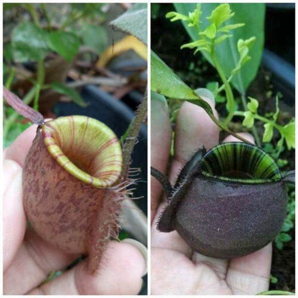 N. ampullaria, spoted striped peristom x ampullaria black miracle 25 Samen, 02/2019