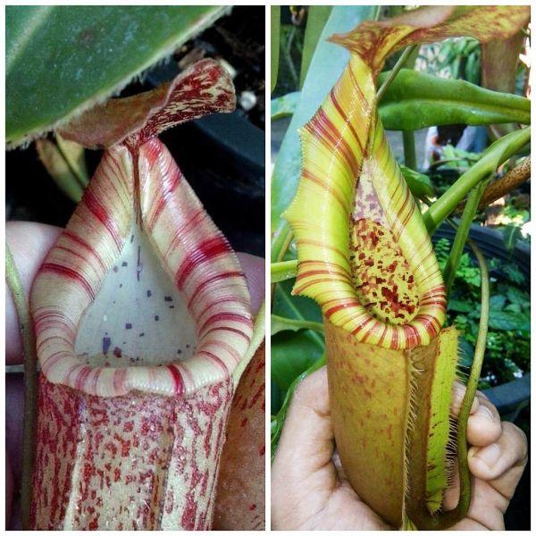 Nepenthes (veitchii x boschiana) striped x (northiana x veitchii) 25 Samen, 02/2019