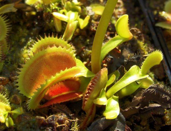 "Venusfliegenfalle (Dionaea muscipula) Klon ""Dentata"" Jungpflanze 4-5cm"