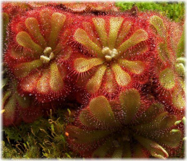 Drosera aliciae, mehrtriebige Pflanze nach Selbstteilung