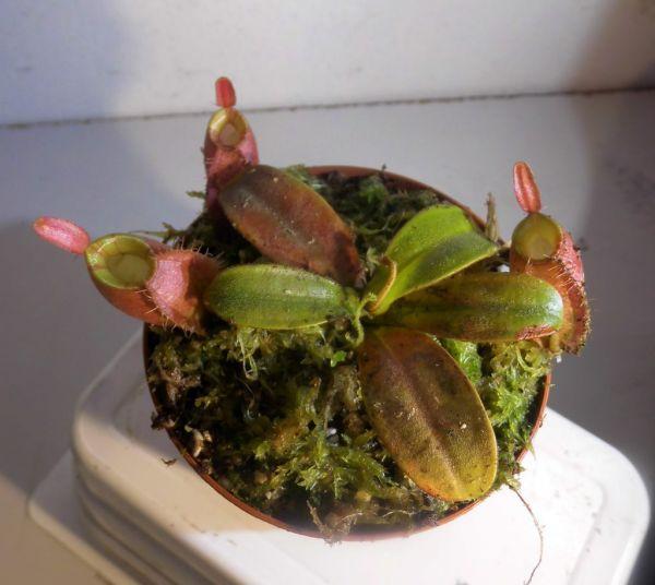 Nepenthes ampullaria red striped Peristome Größe 8-10cm