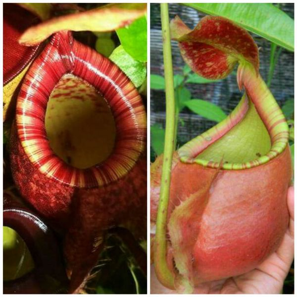Nepenthes (viking x bicalcarata) x (viking x ampullaria red stripe), 25 Samen, 09/2018