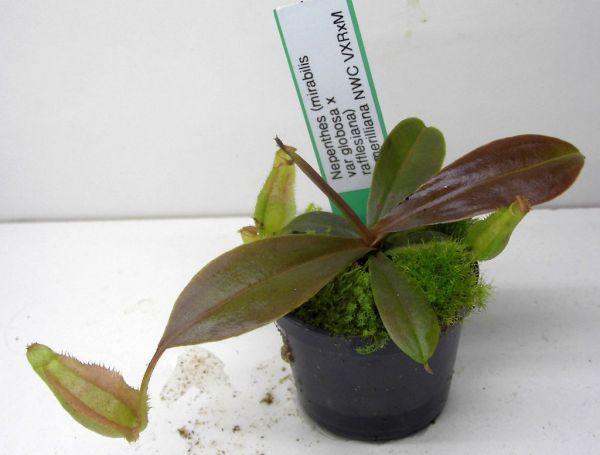 Nepenthes (mirabilis var globosa x rafflesiana) x merilliana Größe S