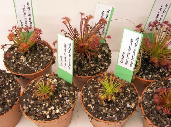 Petiolaris-Drosera unbestimmte Hybride